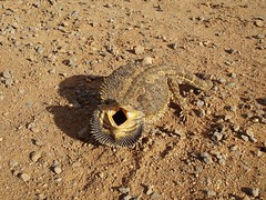 """Open wide and say aaaaah"" (Gillian-r) Tags: wild nature sand australia lizard nsw dirtroad ontheroad beardeddragon riverina stonechips australianreptile defenseposture"