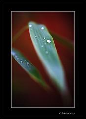 Raindrops (Torsten Wolf) Tags: macro berlin green water rain zeiss kreuzberg nikon drop makro planar 1002 zf leav d700 dreifaligkeitsfriedhof