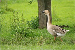 Domestic Swan Goose 2 (Foto Martien (thanks for over 2.000.000 views)) Tags: china france bird frankreich russia goose gans mongolia alsace frankrijk oiseau vogel elsas elzas ansercygnoides swangoose hunawihr brownchinesegoose domesticswangoose sigma70300apomacro schwanengans knobbelgans hckergans zwaangans sonyalpha350 sonya350 oiecygnode martienuiterweerd ansercygnoidesdomesticus martienarnhem storksottersreintroductioncentre centredereintroductioncigognesloutres strchefischotterwiedereinfhrungzentrum ooievaarspark greychinesegoose domesticswan chinesezwaangans