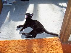 The Jaguar roars