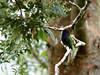 Purple-bearded Bee-eater  Meropogon forsteni (Bram Demeulemeester - Birdguiding Philippines) Tags: indonesia sulawesi palu lorelindunationalpark purplebeardedbeeeater meropogonforsteni bramdemeulemeester