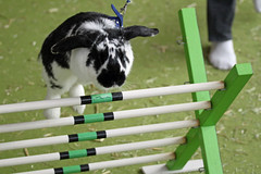 Rabbit ears make great wings (Daves Portfolio) Tags: uk rabbit bunny bunnies london jumping sweden olympia rabbits showjumping timetrial petshow 2011 nationalhall londonpetshow