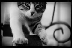 IMG_6678 (anto-logic) Tags: gatto cat eyes occhi unghie nails artigli claws animali amicianimali amici cuccioli belli bellissimi amore dolci primopiano dof profonditàdicampo grecia greece cefalonia kefalonia skala biancoenero blackandwhite soft felini libero libertà ritratto stupendo gorgeous nice pets pretty cute lovely animals animalfriends friends puppies beautiful love sweet depthoffield feline free freedom portrait carezza caress naturallight skin lighting charming puntodivista pov bokeh focus pointofview postproduzione postproduction lightroom filtro filter effetti effects photoshop alienskin eos canon