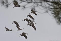 Arjuzanx Grues_4835 (lucbarre) Tags: arjuzanx grue grues migration oiseau oiseaux migrateur migrateurs observatoire bedade