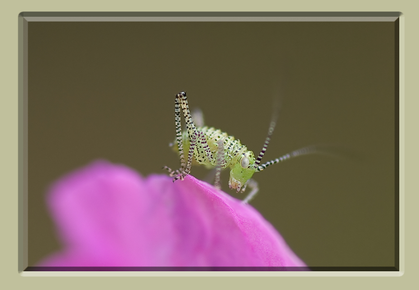 Speckled Bush Cricket - Leptophyes punctatissima