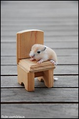 (iris[ux]) Tags: baby gerbil chair nikon rat child d 80 gerbo jerbo chilhood d80 nikond80