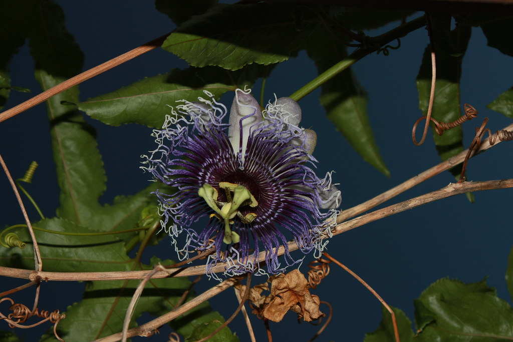 53af51544 ... passion roxa passiflora viola violeta pasion passione fiatlux. 百香果  (rackyross) Tags  flowers blue flores flower azul flora purple blu flor