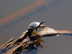 Basking In The Sunlight (siskokid) Tags: nature up turtle reptile michigan upperpeninsula yooper littlegirlspoint omot ultimateshot naturewatcher omanscreek glap