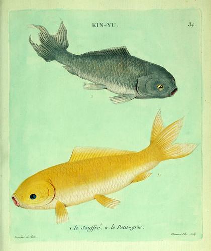 017- El pequeño gris y el Azufrado-Histoire naturelle des dorades de la Chine-Martinet 1780