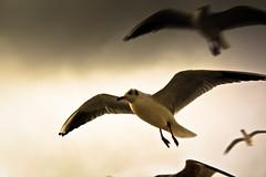 IMG_0596 (Spieler Family) Tags: vögel möwen boltenhagen mwen vgel