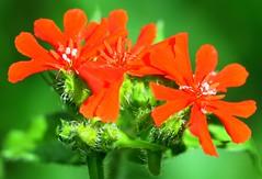 Brennende Liebe (ivlys) Tags: flowers macro nature garden spring blumen lychnischalcedonica brennendeliebe anawesomeshot ivlys
