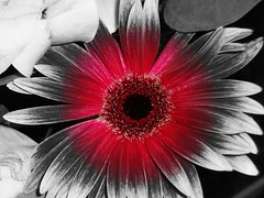 Partial Color (SurFeRGiRL30) Tags: pink flowers roses blackandwhite bw white colour blackwhite petals cool pretty gerbera round daisy partialcolor effect circular sonycybershot cicle bouqet cameraeffect gerberadaisy partialcolour sonycybershot121