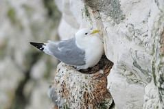 Kittiwake (Rissa tridactyla) on Nest with Eggs at Bempton Cliffs (Steve Greaves) Tags: sea cliff white bird nature coast nest wildlife aves naturalhistory coastal eggs avian guano seabird precarious blackleggedkittiwake incubation kittiwake incubating bemptoncliffs 2xteleconverter rissatridactyla yellowbeak greyback greywings nikond300 nikonafsii400mmf28ifedlens gulllike