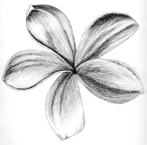 Frangipani Flower Drawing Frangipani Sketch Charcoal