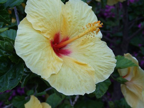 What is the meaning of rose of sharon hunker yellow hibscus the rose of sharon is a flowering mightylinksfo