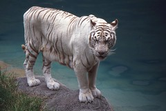White Tiger.-Panthera tigris (Zooman2009) Tags: white beautiful fur dangerous stripes teeth blueeyes endangered bites majestic genetic rare whitetiger claws pinknose protected bushgardens meateater greatphotographers recessivegene flickrbigcats todaysbest placesamericandream allnaturesparadise