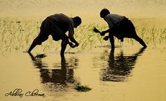Paddy Farmers (Abbrar Cheema) Tags: pakistan sunset rural work golden evening rice paddy farmers folk hard culture punjab cultural abrar sowing abbrar