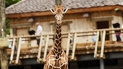 Giraffe Posing for the Camera (Todd Ryburn) Tags: nature animal canon mammal tall giraffe dslr peoriail llens glenoakzoo africananimal canon5dmarkii canon300mmf28isllens