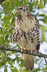 Young Red-tailed Hawk (dhkaiser) Tags: dan hawk kaiser redtailed juvenile nwr ias muscatatuck