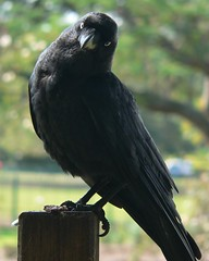 Curious Crow (Leonard John Matthews) Tags: bird nature fauna australia queensland environment curious crow creature newfarm torresian mythoto