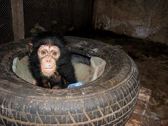 Ten Thousand Dollar Baby (Pyngodan) Tags: chimp chimpanzee img4067 pyngodan tenthousanddollarbaby