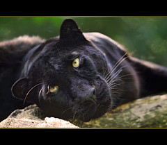 Black beauty (Tambako the Jaguar) Tags: wild portrait black france cat zoo big eyes nikon feline pretty relaxing kitty explore leopard panther felid d300 panthera pantherapardus pardus amnville impressedbeauty vosplusbellesphotos flickrbigcats