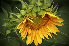 Little Sunflower (-clicking-) Tags: flowers sunflower mywinners abigfave anawesomeshot colorphotoaward platinumheartaward thechallengefactory 100commentgroup platinumpeaceaward absolutelyperrrfect unforgettableflowers2009 boufcontest8aug10