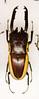 CD421 Prosopocoilus bison (listentoreason) Tags: usa nature animal closeup america canon insect newjersey unitedstates beetle favorites places animalia arthropoda invertebrate arthropod stagbeetle coleoptera tomsriver insecta lucanidae pterygota neoptera endopterygota ef28135mmf3556isusm score30 bugmuseum insectidentification insectropolis prosopocoilus prosopocoilusbison animalidentification bugseum