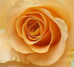 From the heart. (Barbara Fox) Tags: flower rose closeuprose