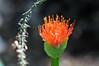 Haemanthus katherinae (Michael Döring - thx 4 16 million views) Tags: bochum d300 botanischergarten ruhruniversität querenburg flickrsbest haemanthuskatherinae michaeldöring sigma150makro