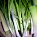 "Scallions, Leeks, Celery... • <a style=""font-size:0.8em;"" href=""https://www.flickr.com/photos/78624443@N00/3905914177/"" target=""_blank"">View on Flickr</a>"