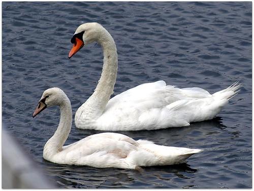swan dad son