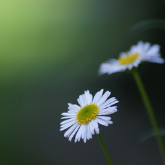 Today I am a daisy (RachaelMc) Tags: flowers white beautiful daisies garden miniature backyard bej mywinners brillianteyejewel mimamorflowers rachaelmc rjmcdiarmid