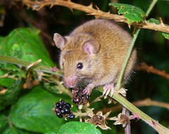Wood Mouse (Apodemus sylvaticus) (sam2cents) Tags: cute nature fruit mouse mammal rodent eyes hands berry berries blackberry wildlife ears cuddly balance climber grip poise skill naturesfinest arborial anawesomeshot woodmouseapodemussylvania