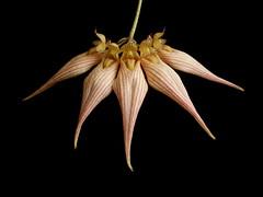 Bulbophyllum (longissimum x dayanum)