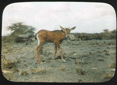 Young mammal, possibly Bovidae Oryx (The Field Museum Library) Tags: africa expedition mammals somalia zoology 1896 carlakeley specimencollection dgelliot