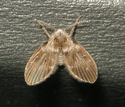 filter fly (Clogmia albipunctata)
