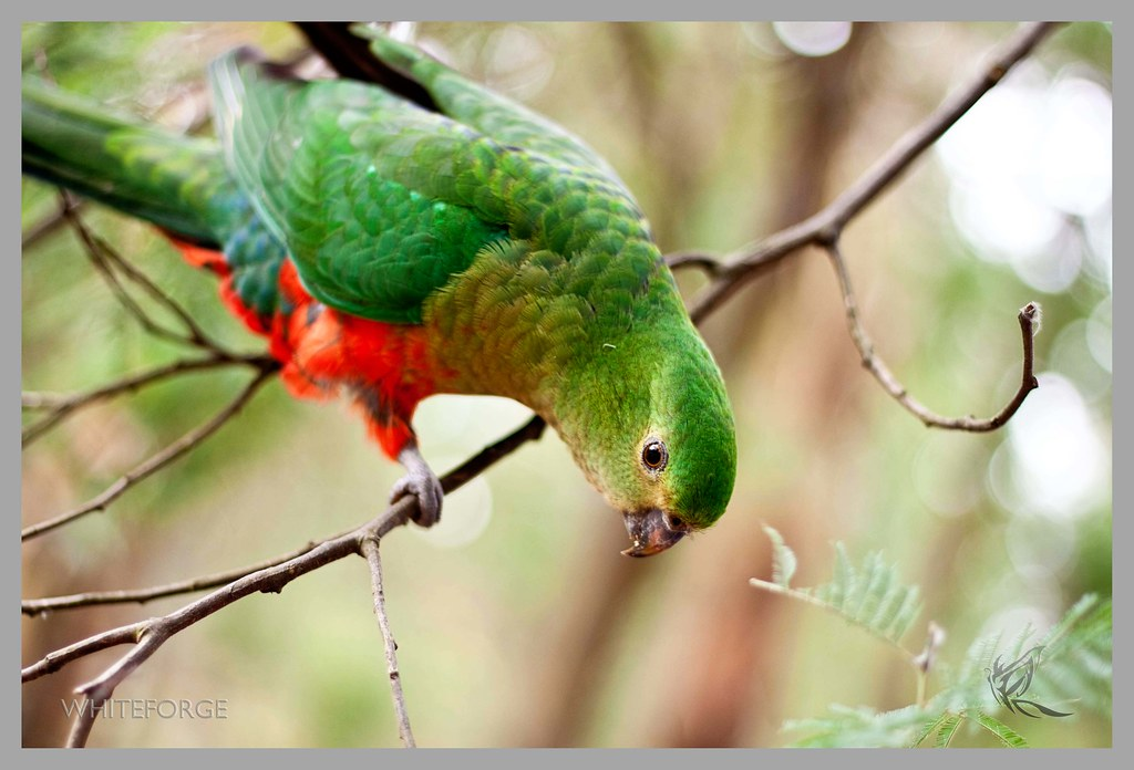 Australian King-Parrot at Sherbrooke Forest