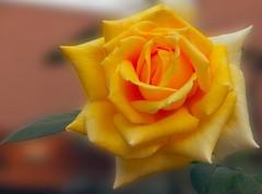 le rose del giardino di Mirjana
