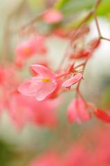 Impressions in Red (?) (Anna Omiotek-Tott) Tags: flowers red macro nature garden artistic bokeh pastel bergenia dreamy wisley rhs tamron90mm naturesgarden sooc nikond90