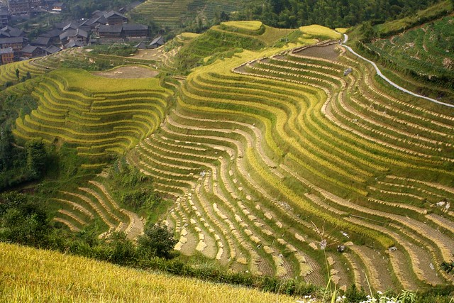 ข้าวพันธุ์ผสมในจีน ให้ผลผลิตสูงที่สุดในโลก