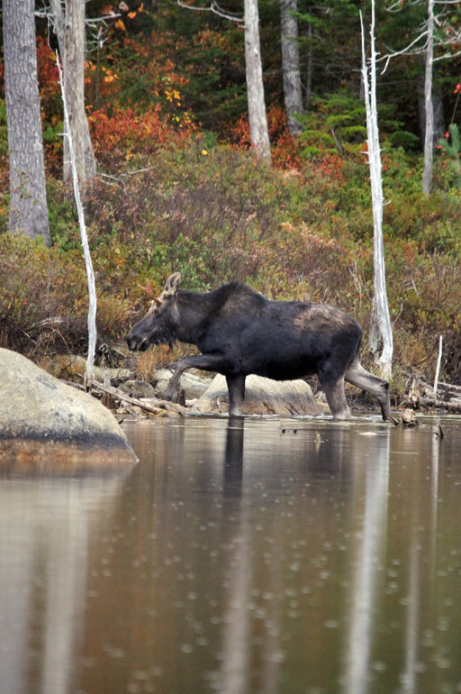 moose_first_0279