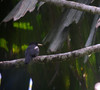 Monasa flavirostris1 (barbetboy) Tags: fbwnewbird fbwadded monasa yellowbillednunbird monasaflavirostris