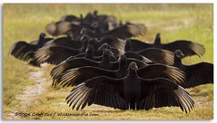 One by one, the vultures come. . . (Geoff Coe) Tags: black birds display blackvulture coragypsatratus centralflorida featheryfriday lakewoodruff featheryfriday1 specanimal img0182sig
