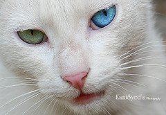 Heterochromia iridium (KamiSyed.) Tags: wedding pakistan cat bride bridalportraits karachi lahore islamabad weddingphotographer rawalpindi heterochromiairidium traditionalwedding bridaldress pakistaniwedding desiwedding kamisyed kamisyedweddingbridebridalportraitfashionphotographerfashionweddingphotographerislamabad rawalpindpindi lahorekarachipakistandesidesiweddingpakistaniweddingpakistanwedding