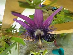 some of my passiflora 5713380827_eb649f1feb_m
