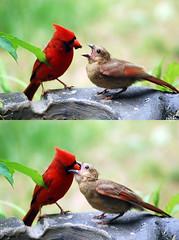 Feeding Time (Maggggie) Tags: bug nikon feeding ngc young tamron northerncardinal nurturing