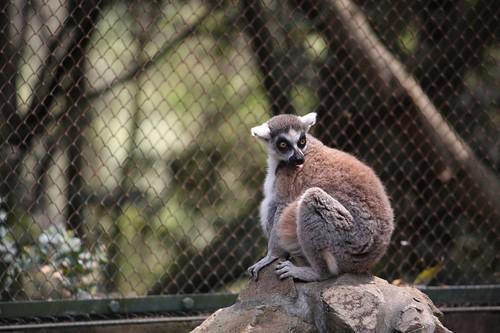 残念、しっぽが隠れました! / Ring-tailed lemur