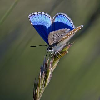 Ombres et Lumière. Azuré bleu céleste (Polyommatus bellargus) Adonis Blue