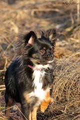 Wachsam (buchsammy) Tags: winter chihuahua canon eos ralf 500 braun augen nala sonnig nase schwarz stroh januar halsband bitzer gespannt buchsammy